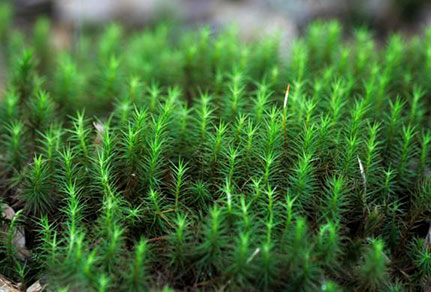 Carpet of Tiny Pine Trees